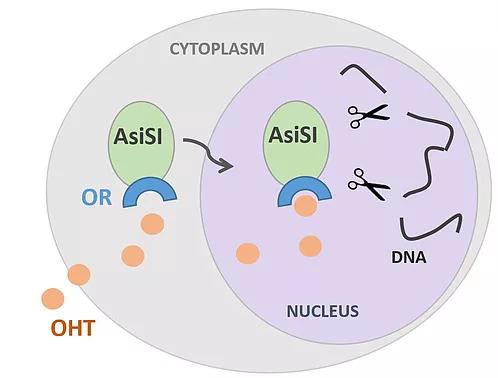 DIVA cells  AsiSI